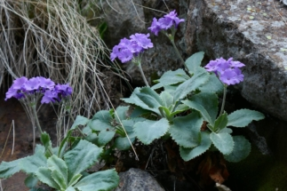 fioriviola