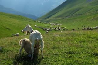 pecoreallattamento