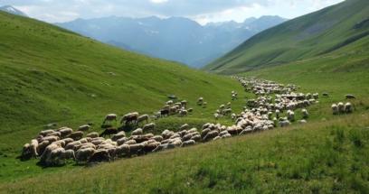 pecoreversopascolo