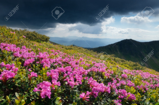 Glade blooming rhododendrons in the mountains