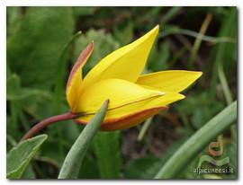 tulipano montano