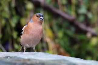 uccellinofringuello